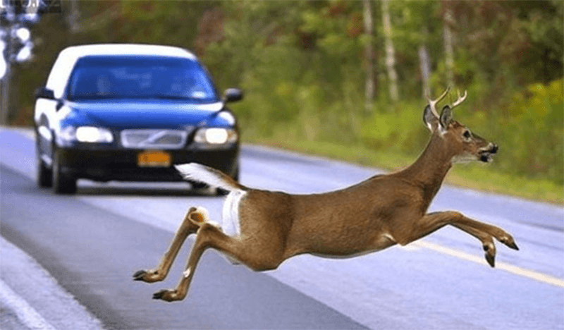 Советы новичкам. Животные на дороге